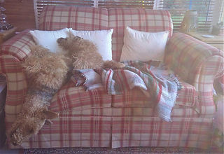 Airedale Terrier relaxing on a comfy sofa