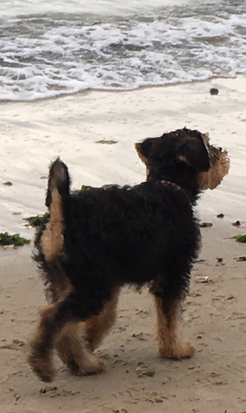Airedale puppy walking along the beach