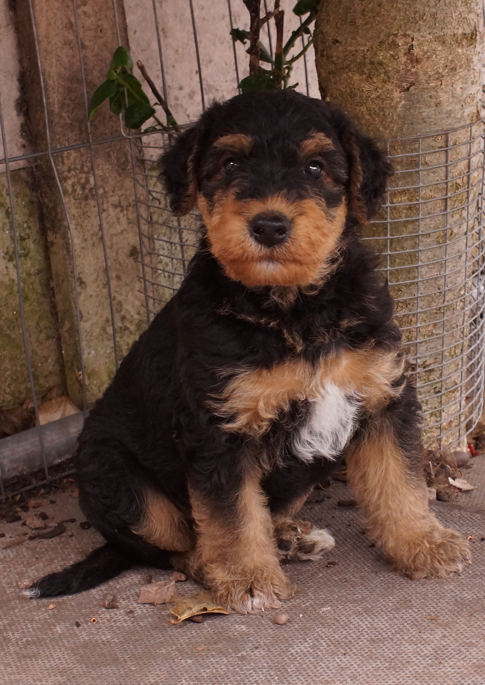 Airedale puppy at 6 weeks old