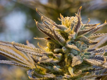 Légaliser le cannabis: une urgence contemporaine face à une hypocrisie dépassée.
