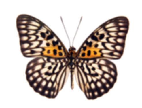 Butterfly%20Neurosigma%20Siva%20Nonius%2