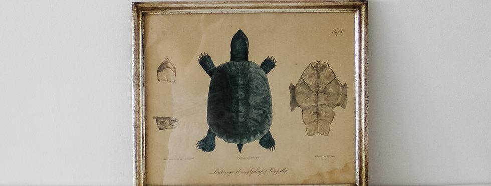 Vintage Framed Turtle Lithograph
