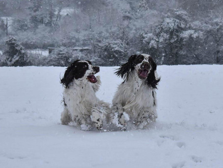 Springers in the snow!