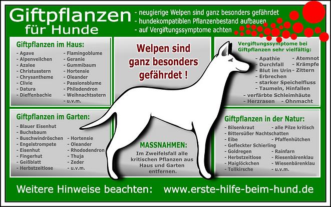 giftige-pflanzen-fuer-den-hund-001-006.p