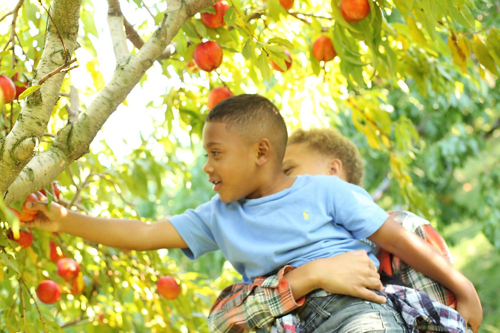 Apple picking at Applecrest Farm Orchards