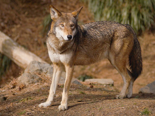 Once bountiful, Miss. red wolves gone and almost forgotten