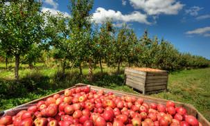 Amazing Apple Orchard Adventures