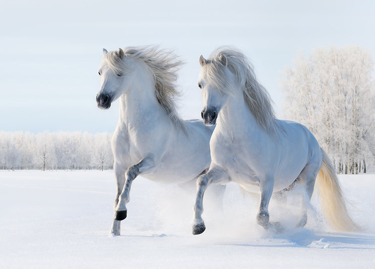 Canva - Two white horses gallop on snow