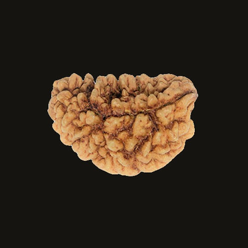 Original 1-Mukhi Indian Rudraksha