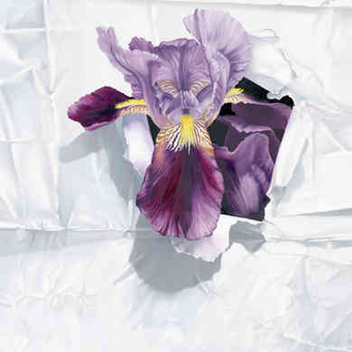 Iris in White Paper