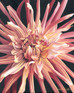 Dahlia Oil Painting | Inspiration For Painting