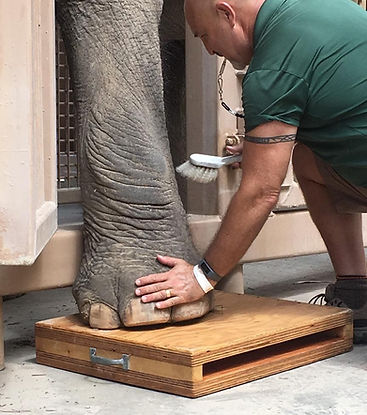 Conditioning an Asian elephant for voluntary digital x-rays