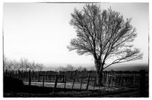 Bellarine Vineyard