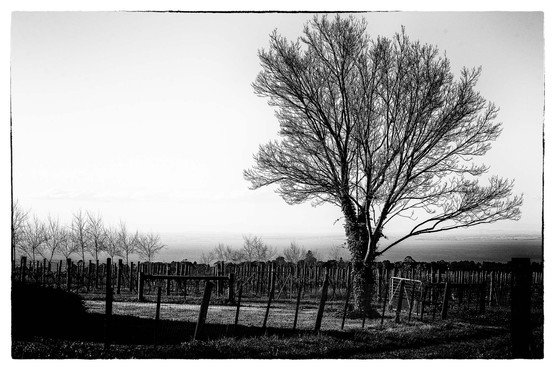 Bellarine Vineyard