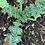 Thumbnail: Milk Thistle (Silybum marianum) Spagyric Tincture