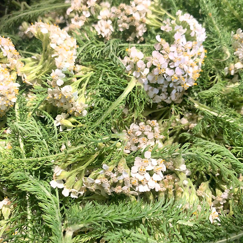 Yarrow (Achillea millefolium) Spagyric Tincture