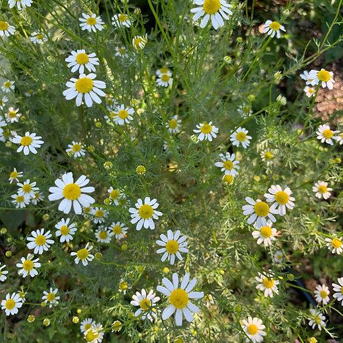 Chamomile Spagyric Tincture (Matricaria chamomilla)