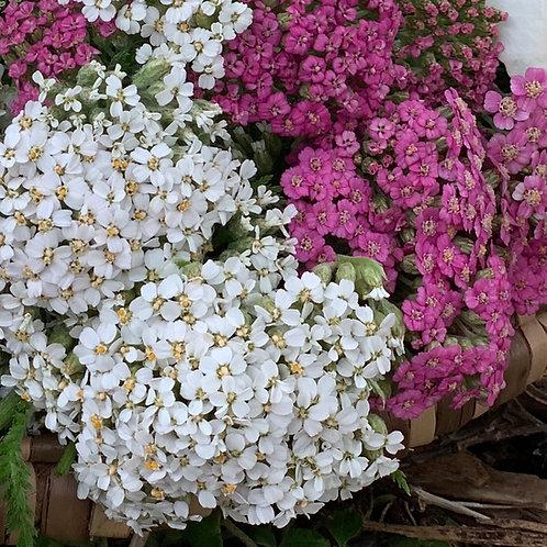 Yarrow Spagyric Tincture (Achellia millefolium)