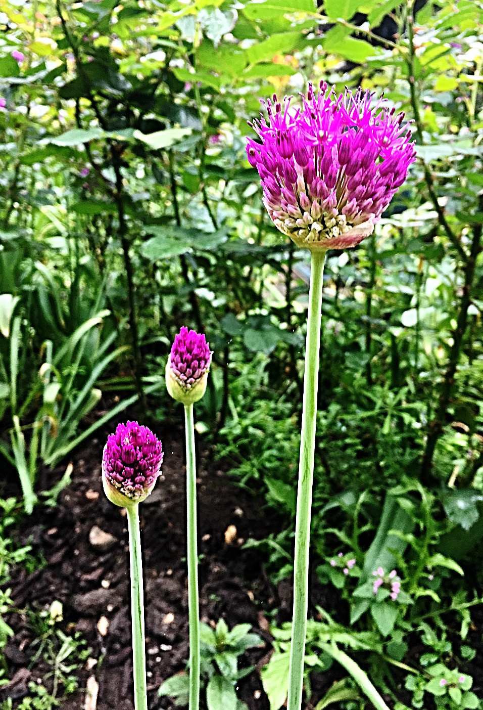 The Jewellery Boat Blog - Allium flowers - www.jewelleryboat.com