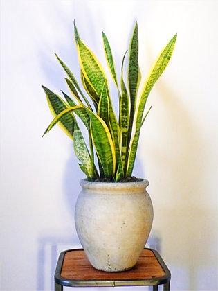 Sansevieria Laurentii plant
