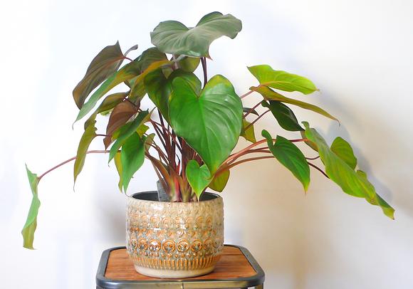 Homalomena Maggy plant