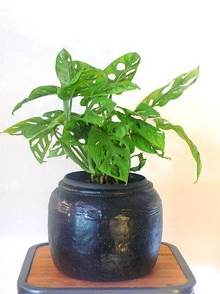 Monstera Obliqua plant