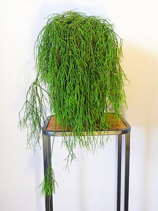 Rhipsalis trailing plant