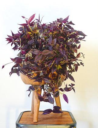 Tradescantia Jewel plant