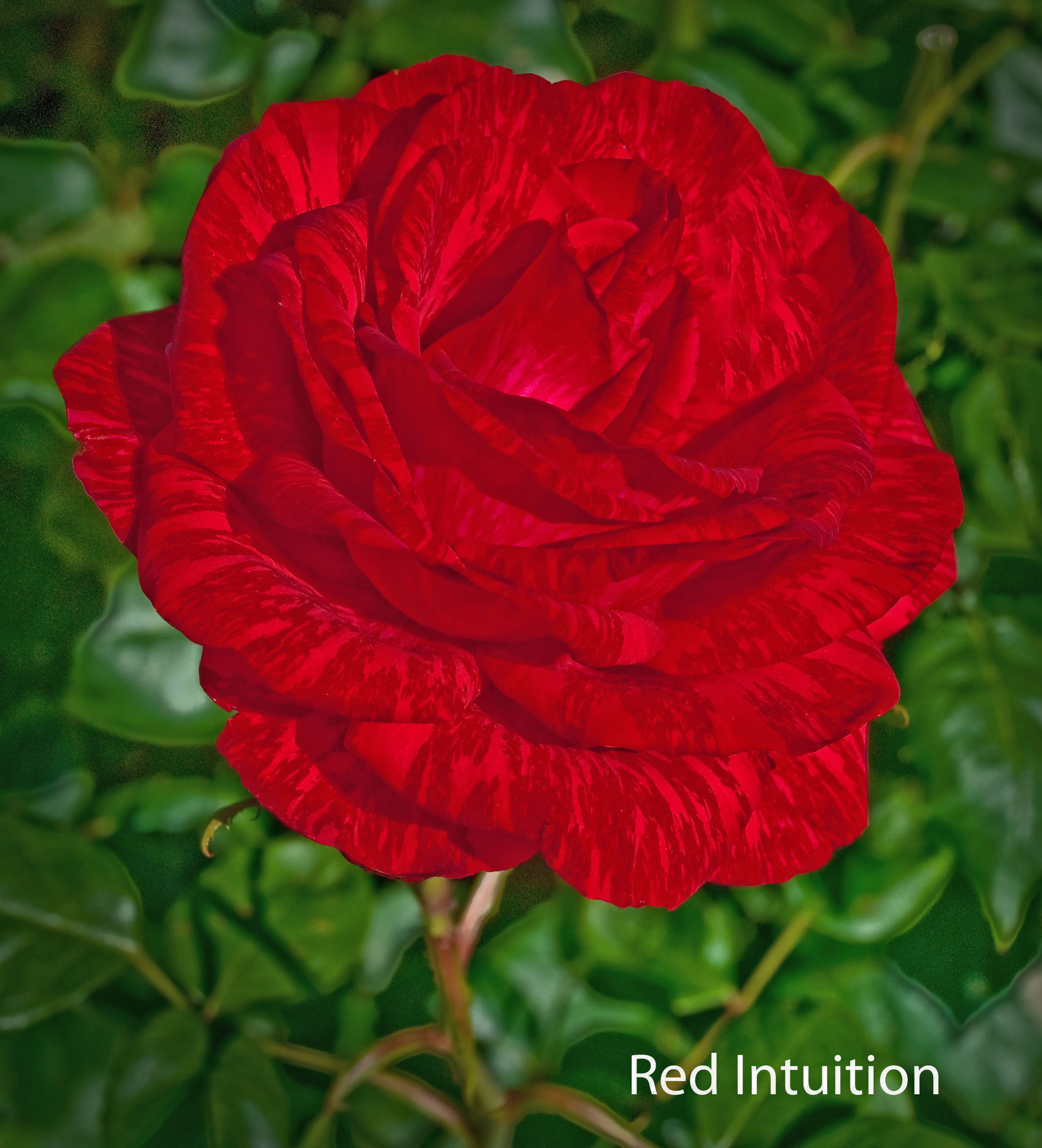 Red Intuition