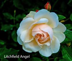 Litchfield Angel