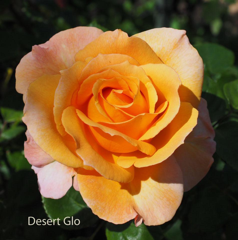 Desert Glo