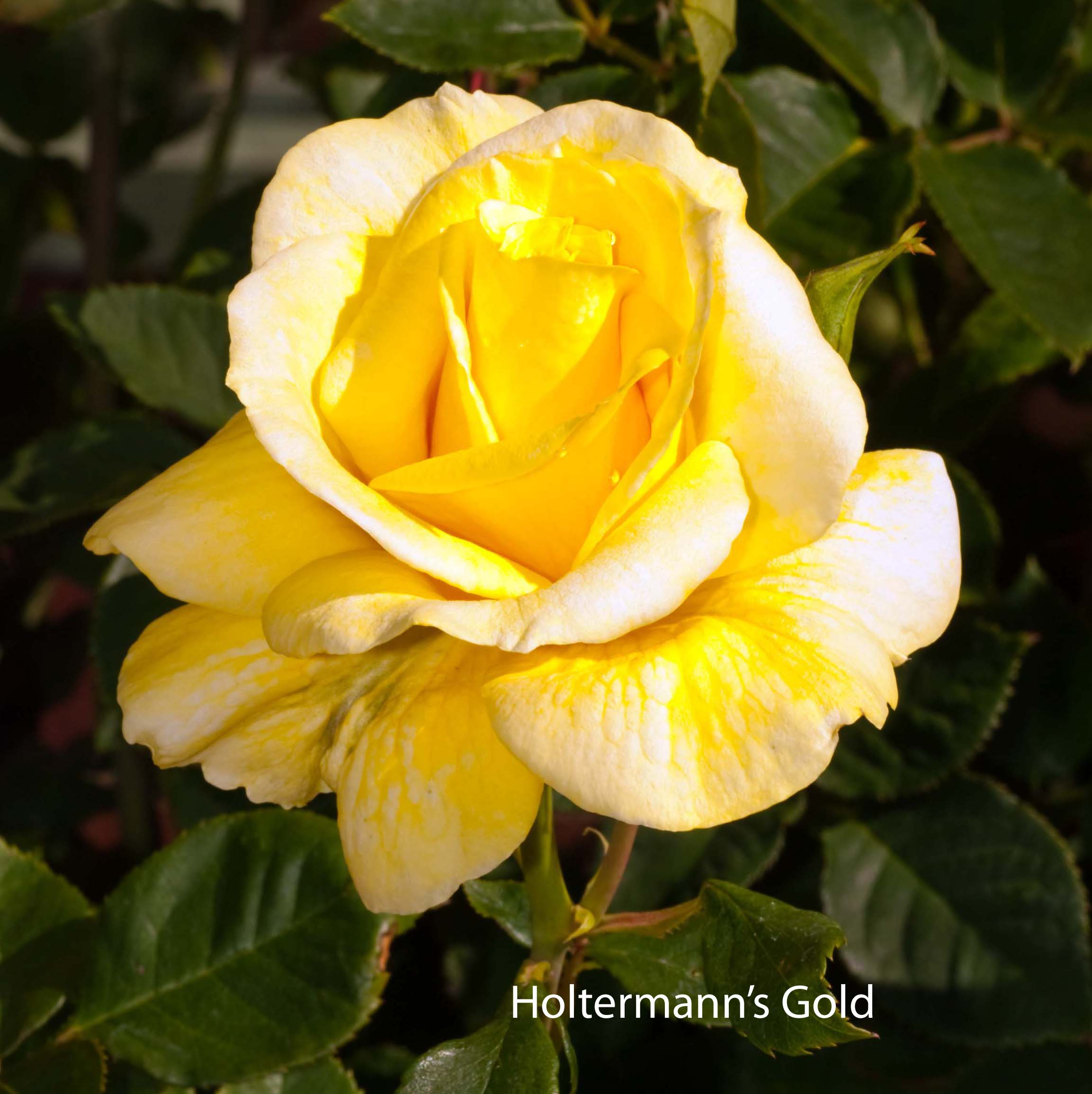 Holtermann's Gold
