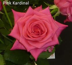 Pink Kardinal