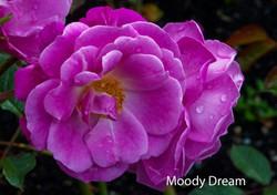 Moody Dream