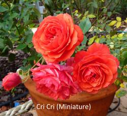 Cri Cri (Miniature)