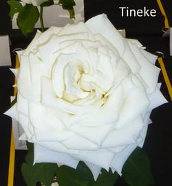 Tineke