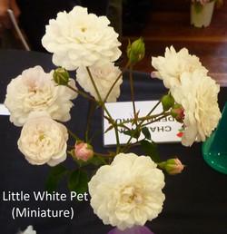 Little White Pet (Miniature)
