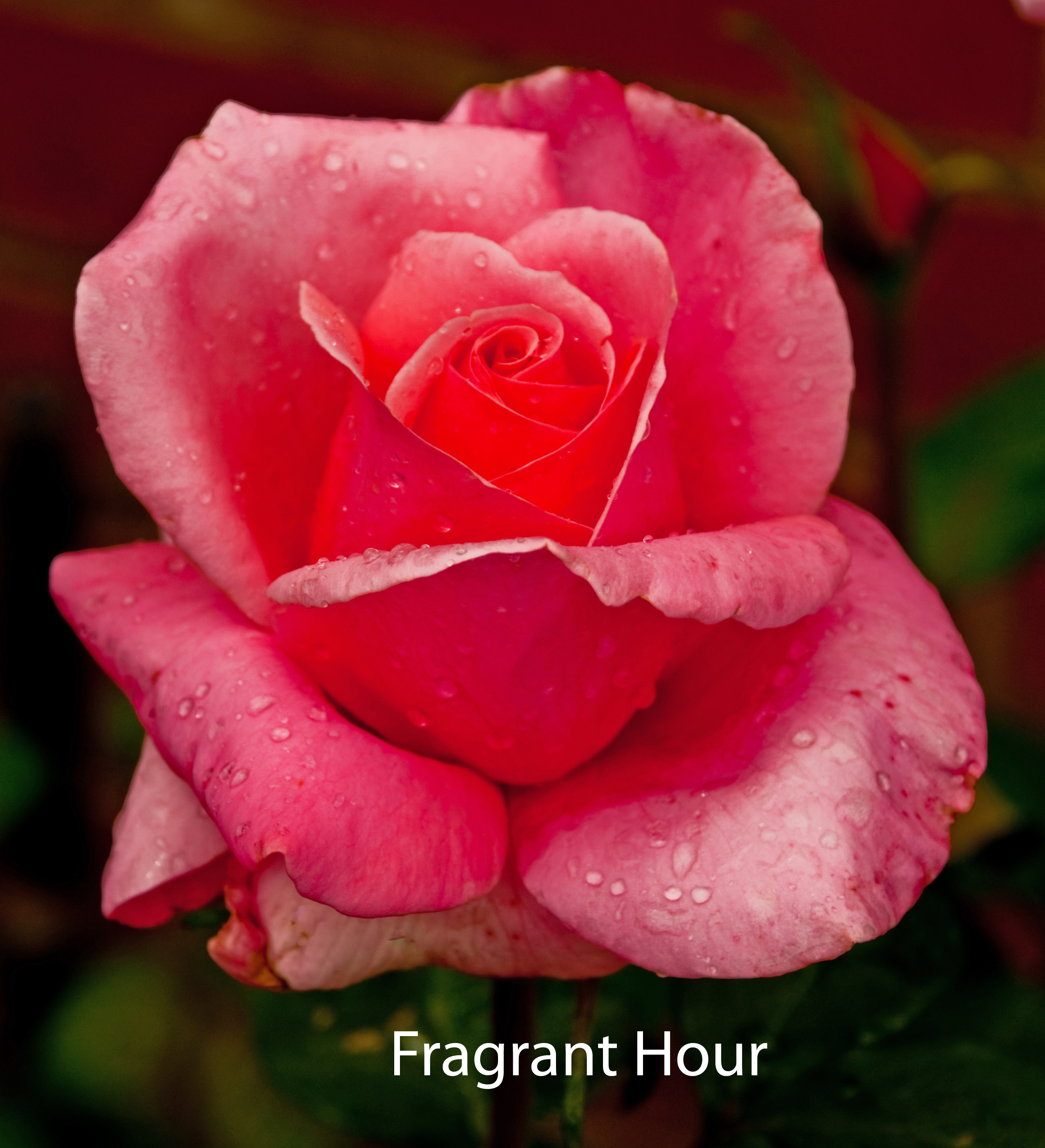 Fragrant Hour