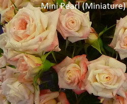 Mini Pearl (Miniature)