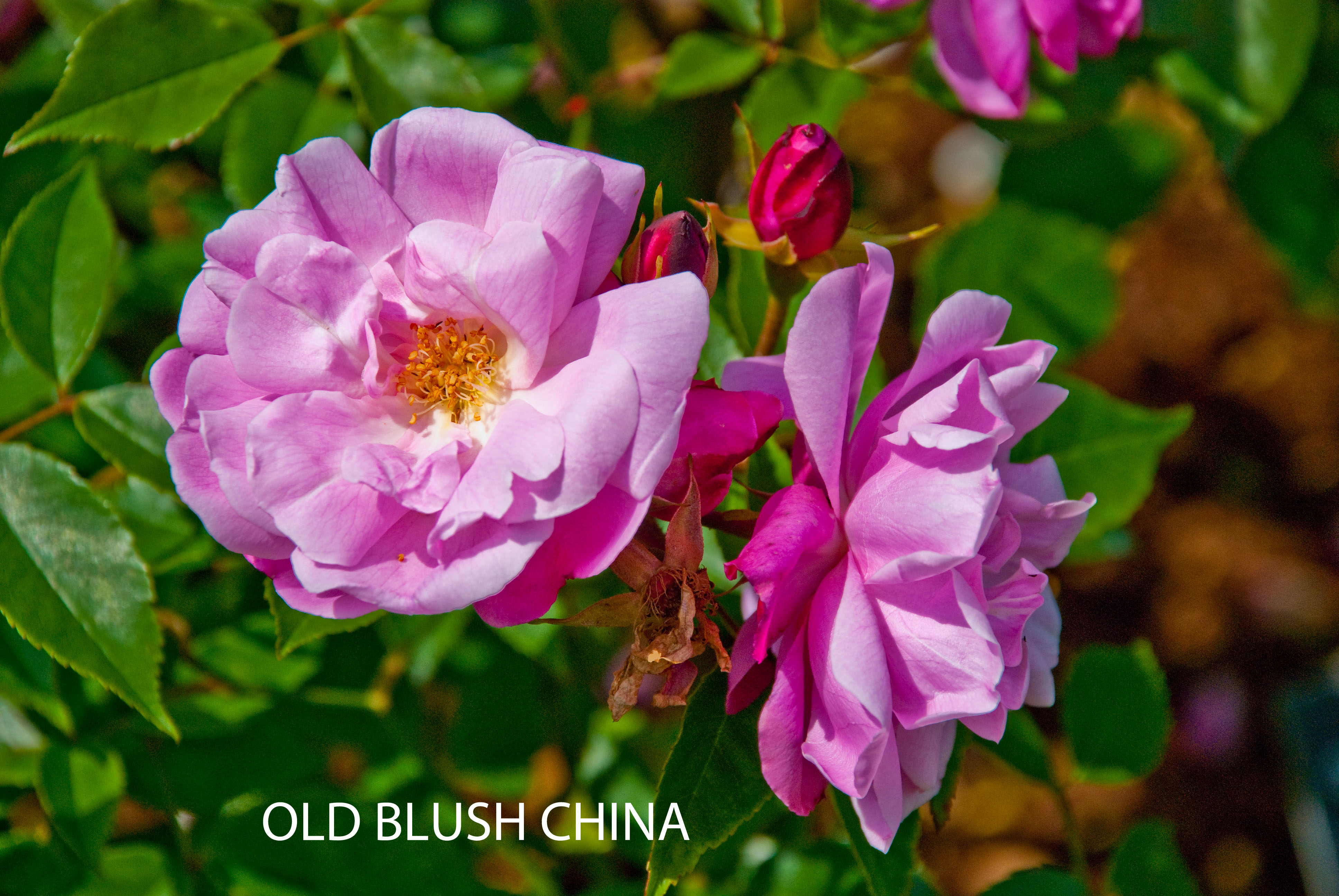 Old Blush China
