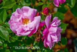 Old Blush China
