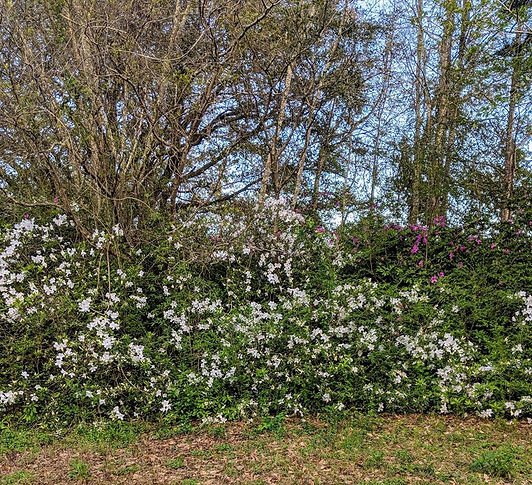 White Azaleas in Yard 2019.jpg