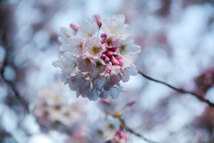 Cherry Blossom copy.jpg
