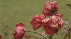 Roses in Portland, Oregon copy.png