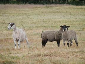 Sheep The Frith.JPG