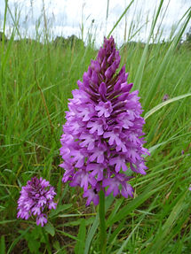 Pyramidal Orchid Reeves Meadows July 201
