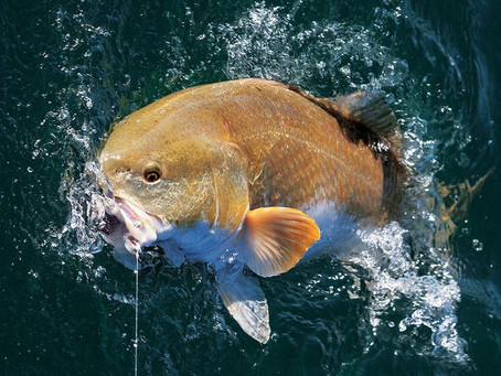 Best Rigs for Catching Bull Redfish