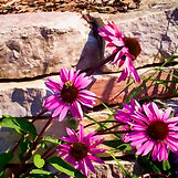IMG_0356 Wall w Purple Coneflowers - Pai