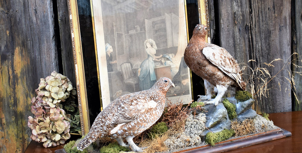 Antique Female Ring Necked Pheasants Game Birds Taxidermy Display Mounted