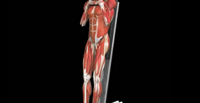 The vertical core crunch (VCC) exercise using iMuscle 2™ app images and illustrations